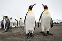 King Penguins (Mirounga leonina). St. Andrews Bay, South Georgia. November.