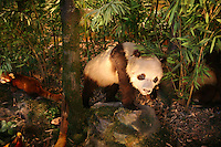 CHINA. Shanghai. A model of a Panda in Shanghai Science and Technology Museum (?????; pinyin: Shàngh?i ke¯jì gu?n) is a large museum in Pudong, Shanghai, close to Century Park, the largest park of the city. The construction of the museum cost 1,75 billion RMB, and the floor area is 98 000m2 .2008..