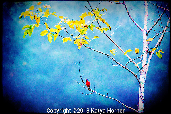 An American Cardinal perched on a branch underneath some fall foliage.  A decorative, slightly textured image.