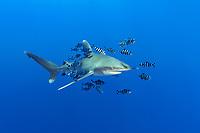 oceanic whitetip shark, Carcharhinus longimanus, with pilot fish, Naucrates ductor, Daedalus Reef, Egypt, Red Sea, Indian Ocean