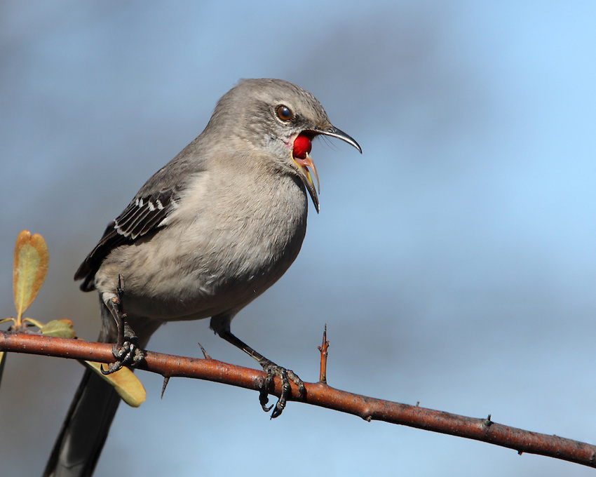 Northern Mockingbird with a unique look at the tongue..
