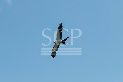Fazenda Bauplatz, Brazil. White and black bird soaring on the wind.