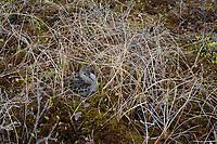 Least Sandpiper (Calidris minutilla) on its nest. Yukon Delta National Wildlife Refuge. May.