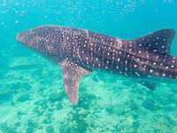 Maldives, Rangali Island. Conrad Hilton Resort. Swimming with whale sharks, the biggest fish in the sea.