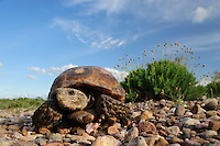 Texas Tortoise (Gopherus berlandieri), adult walking, Laredo, Webb County, South Texas, USA