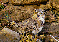 Great Horned Owl (Bubo virginianus) near old rock building foundation, rural southern Oregon.  Early Winter.  This was an old homesteader building (mostly fallen down) where only this old foundation remained.  I believe the owl had a nest nearby.