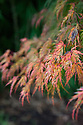 Acer palmatum var. dissectum  'Seiryu', early November. A Japanese maple whose name translates to mean Green Dragon.