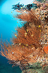 Bligh Waters, Vatu I Ra Passage, Fiji; Golden Damsel fish swimming amongst the branches of a large colony of black coral