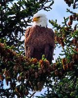 A lone Bald Eagle perched high in an evergreen tree near Seward, Alaska.