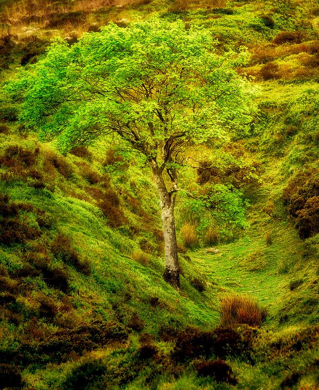 Single tree  in spring. Dartmoor National Park, England