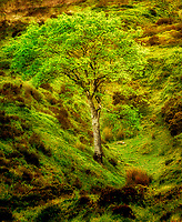 Single tree  in spring. Dartmoor National Park, England