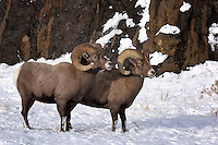 Bighorn Rams, Cody, Wyoming