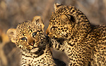 Adorable leopard cubs play with each other as they venture out of their den just six weeks after being born.  The two youngsters were photographed at first light at Sabi Sands in South Africa's Greater Kruger National Park as their mother looked on.<br /> <br /> Property trader Rod Watson from Johannesburg took the pictures while he was on holiday.  SEE OUR COPY FOR DETAILS.<br /> <br /> Please byline: Roddy Watson/Solent News<br /> <br /> © Roddy Watson/Solent News & Photo Agency<br /> UK +44 (0) 2380 458800