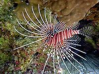 Lionfish. Bora Bora. French Polynesia