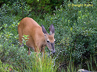 MA11-534z  Northern (Woodland) White-tailed Deer, Odocoileus virginianus borealis