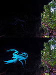 Borneo giant forest scorpion (Heterometrus longimanus) resting inside a fallen hollow log. Danum Valley, Sabah, Borneo. Photographed with naturanl light and then illuminated and photographed with UV light for comparison.