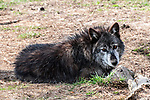 grey wolf mixed chocolate color phase laying on ground, full body view looking at camera