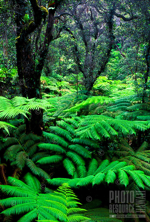 Rainforest with ohia trees and hapuu ferns at Hawaii volcanoes national park