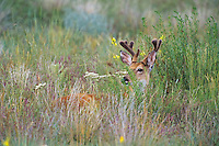 White-tailed Deer buck among prairie wildflowers.  Western U.S., summer.