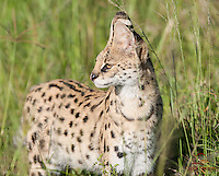 """Start of a """"4-cat"""" day (Lion, Leopard, Serval and Cheetah) - Serval (Felis (Leptailurus) serval) hunting on the Masai Mara"""