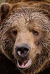 Brown bear portrait, Alaska