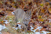 Wild Bobcat (Lynx rufus) stalking through bigleaf maple tree leaves and old snow.  Olympic National Park, WA.  November.  (Completely wild, non-captive cat.)