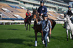 SHA TIN,HONG KONG-DECEMBER 09: Staphanos,trained by Hideaki Fujiwara,is walking on the turf track in preparation for the Hong Kong Cup at Sha Tin Racecourse on December 9,2016 in Sha Tin,New Territories,Hong Kong (Photo by Kaz Ishida/Eclipse Sportswire/Getty Images)