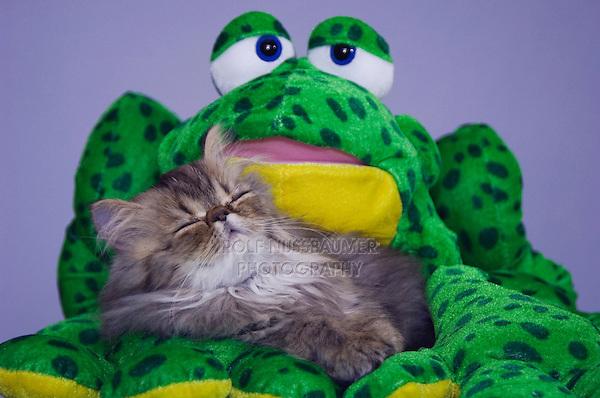 Persian Cat, Felis catus, Brown Tabby, Kitten sleeping, Hill Country, Texas, USA, July 2006
