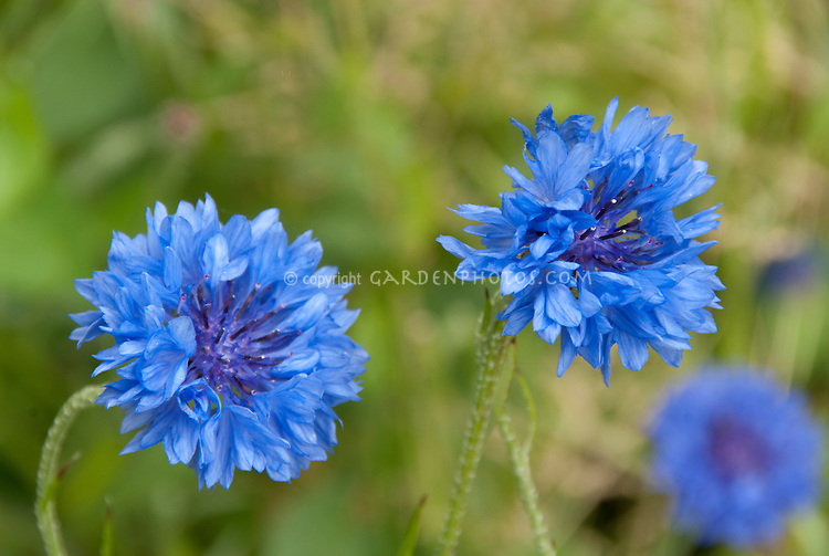 Blue flowers of bachelor buttons