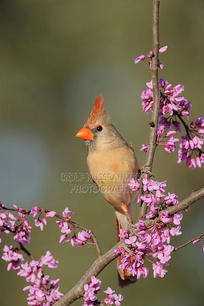 Northern Cardinal (Cardinalis cardinalis), female on Eastern Redbud (Cercis canadensis), Dinero, Lake Corpus Christi, South Texas, USA