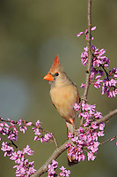 Northern Cardinal (Cardinalis cardinalis), female on Eastern Redbud (Cercis canadensis), Dinero, Lake Corpus Christi, South Texas, USA