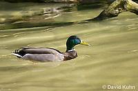 0311-1001  Mallard Duck Swimming in Pond, Anas platyrhynchos  © David Kuhn/Dwight Kuhn Photography.