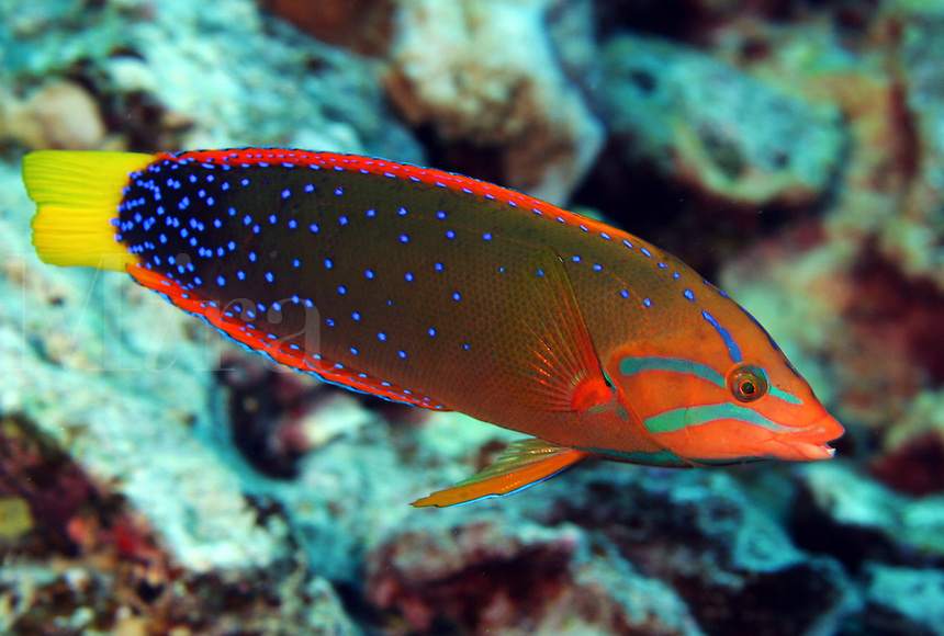 This colorful member of the wrasse family, the yellowtail coris [Coris gaimard] goes through dramatic changes from a juvinile to adult. Hawaii.