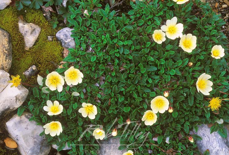 Mountain Aven (Dryas octopetala), Yoho NP, BC, Canada