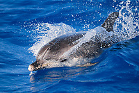 Spotted Dolphin, Stenella frontalis, wave riding, Pico-Azores-Portugal, Atlantic Ocean
