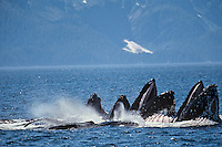 Humpback whales (Megaptera novaeangliae) bubble net feeding (probably on herring balls).  Alaska.  Summer.