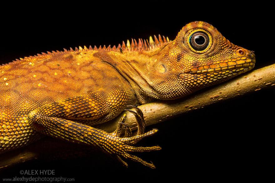 Bornean Angle-headed Lizard (Gonocephalus bornensis) resting on branch in rainforest understory vegetation at night. Danum Valley, Sabah, Borneo. June.