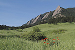 Poppy wildflowers and the Flatirons rock formation in Chautauqua Park, Boulder, Colorado, USA .  John leads private photo tours in Boulder and throughout Colorado. Year-round Colorado photo tours.