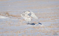 Snowy Owl (Bubo scandiacus) makes eye contact with the photographers as she takes off in the snow.  Alberta, Canada.