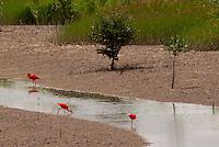 Aves guarás procuram alimento no manguezal da Reserva Extrativista Marinha Mãe Grande no litoral do Pará, na foz do rio Amazonas. Os guarás alimentam-se de crustáceos e algumas espécies de peixes, e sua plumagem é de um vermelho muito intenso ocasionado por sua alimentação à base de um caranguejo que possui um pigmento que tinge as plumas. <br /> Curuçá, Pará, Brasil.<br />  Foto: Paulo Santos <br /> 17/05/2009