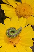 Ringelblumen-Mönch, Ringelblumenmönch, Ringelblumen - Mönch, Cucullia calendulae, Raupe auf gelber Korbblütler - Blüte, Italien, Sizilien, April