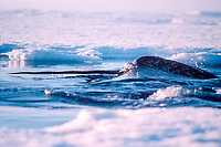 narwhals, Monodon monoceros, Northwest Territories, Canada ( Arctic Ocean )