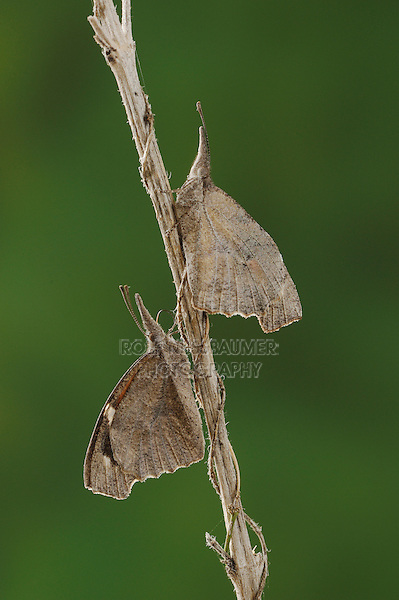 Common Snout Butterfly (Libytheana bachmanii), adults camouflaged, Comal County, Hill Country, Central Texas, USA