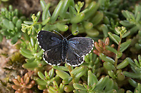 Fetthennen-Bläuling, Fetthennenbläuling, Scolitantides orion, Scolitantides ultraornata, chequered blue, L'Azuré des orpins, Bläulinge, Lycaenidae, gossamer-winged butterflies