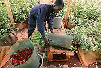 KENYA Thika near Nairobi, Simbi Roses is a fair trade rose flower farm which produces rose as cutting flowers for export to europe / KENIA Thika bei Nairobi, Simbi Roses ist eine fairtrade zertifizierte Blumenfarm die Rosen fuer den Export nach Europa anbauen