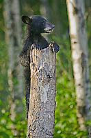 Black Bear cub clinging to the top of a tree stump