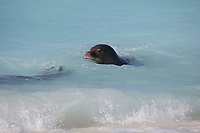 Hawaiian monk seals, Neomonachus schauinslandi, male (right) pursues female (left), Critically Endangered endemic species, Sand Island, Midway, Atoll, Midway Atoll National Wildlife Refuge, Papahanaumokuakea Marine National Monument, Northwest Hawaiian Islands ( Central North Pacific Ocean )