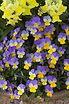 VIOLA 'REBELINA BLUE & YELLOW', VIOLET OR JOHNNY JUMP UP, AND FLORAL SHOWERS YELLOW SNAPDRAGON