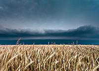 Golden wheat field beneath an approaching gust front near Goodland, KS