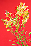 Butter and eggs, Toadflax, Linaria vulgaris